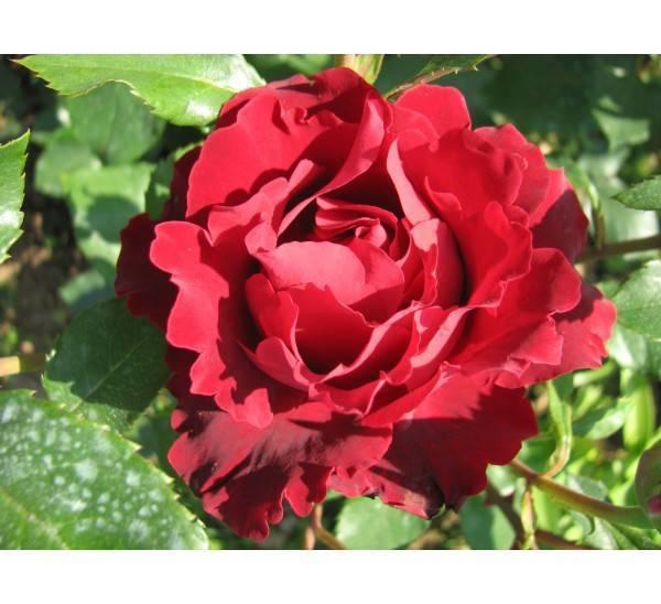 Роза омаж а барбара (hommage a barbara) — описание сорта