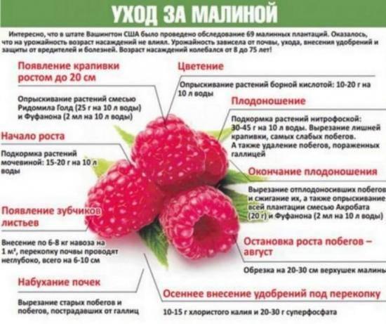 Подкормка малины: чем удобрять весной, чтобы ягоды были крупные, и на зиму? как подкормить ремонтантную малину для хорошего урожая?