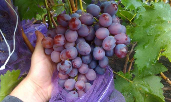 Виноград низина: описание сорта