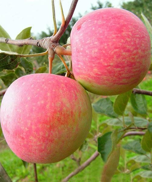 Яблоня «конфетное»: особенности выращивания