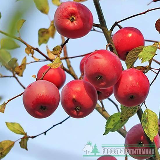 Сорт яблони глостер