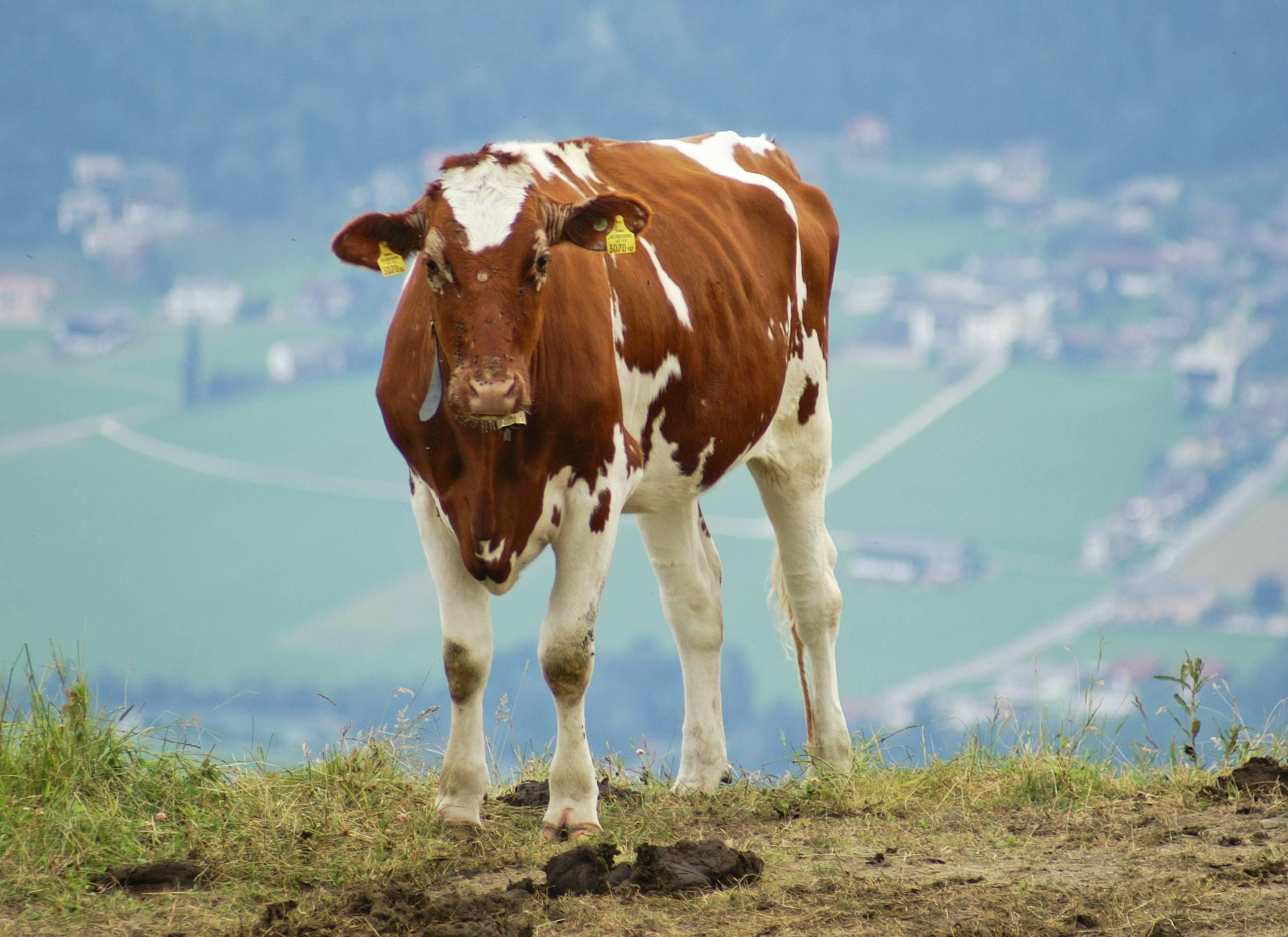 Айрширская корова – жемчужина молочного направления