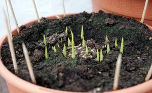 Садовые каллы (30 фото): посадка и уход в открытом грунте. правила выращивания уличных калл. хранение растений в зимний период