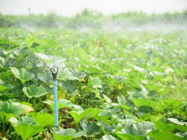 Нужно ли часто поливать тыкву в открытом грунте?