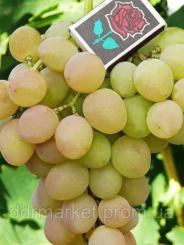 Кеша красный — столовая форма винограда
