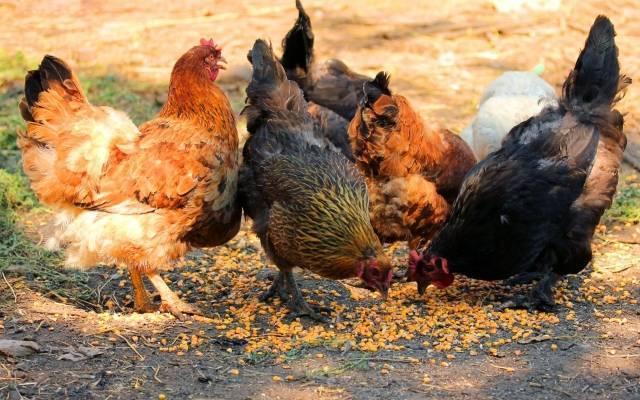 Мясные породы кур с фото и описанием