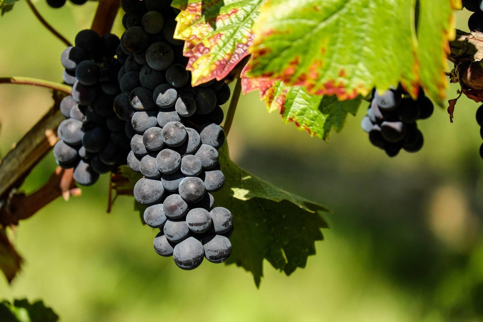 Виноград амурский прорыв один: характеристика и описание сорта, уход и посадка