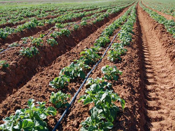 Как настроить мотоблок для посадки картофеля