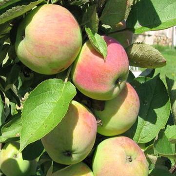 Яблоня «старкримсон делишес»: описание сорта, посадка и уход, фото
