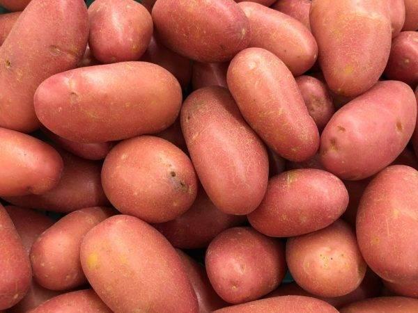 """Картофель """"сифра"""": описание сорта, характеристики и фото картошки"""