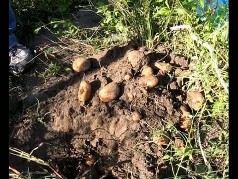 Сонник копать картошку в огороде. к чему снится копать картошку в огороде видеть во сне - сонник дома солнца