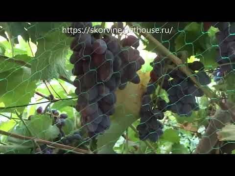 Виноград кишмиш юпитер