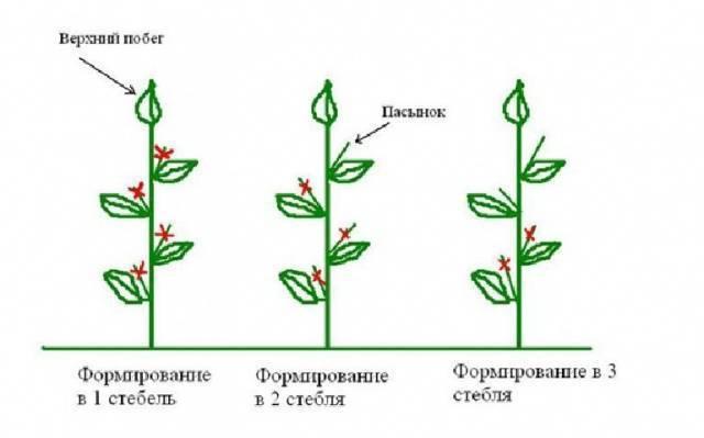 Обрезка герани для пышного цветения: схема проведения процедуры, как правильно формировать куст комнатного растения, чтобы он был пушистый, когда лучше это делать?