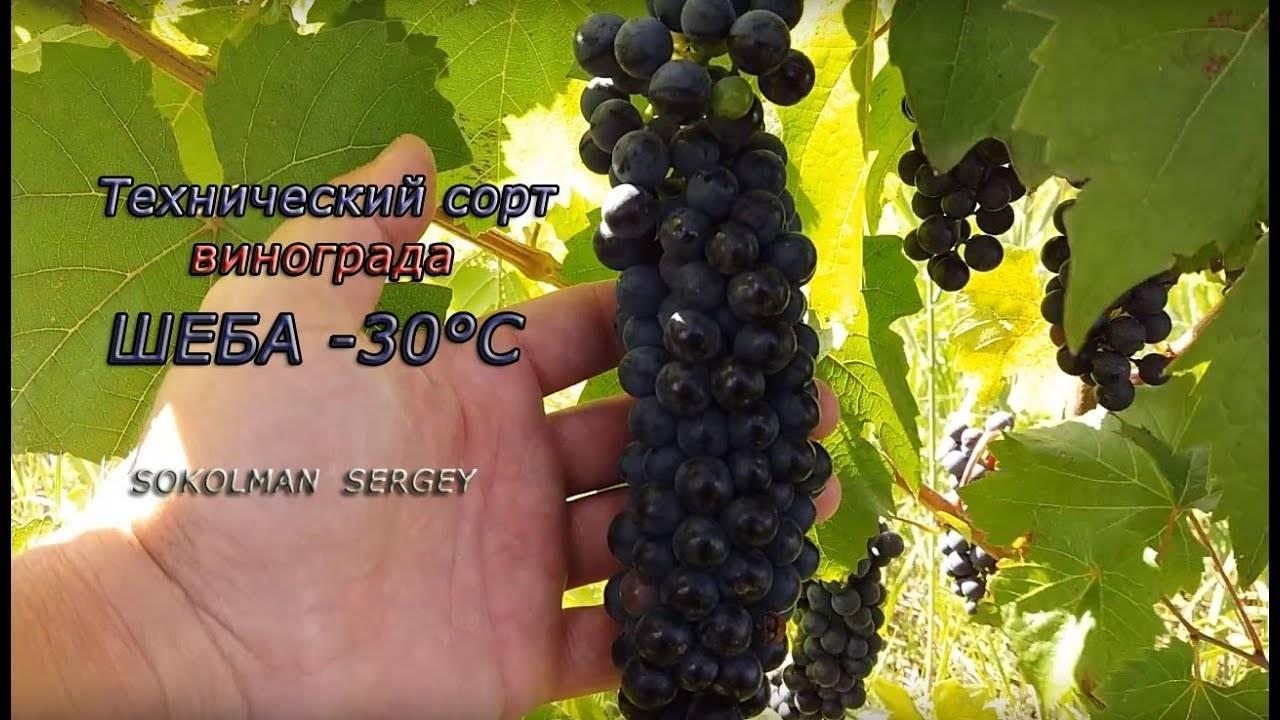 Неукрывные сорта винограда для подмосковья: описание, уход