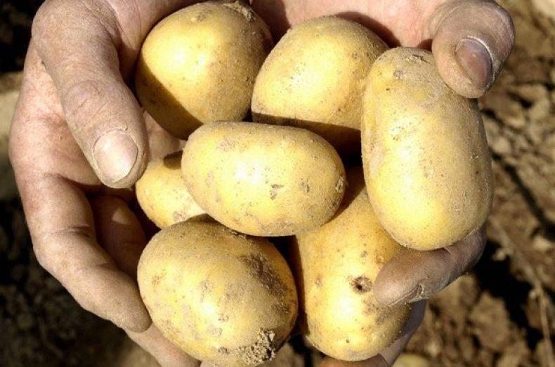 Уладар: описание семенного сорта картофеля, характеристики, агротехника