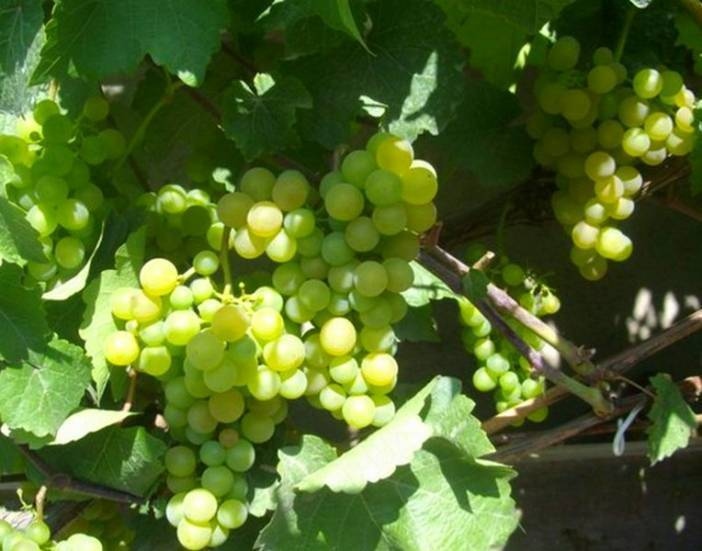 Выращиваем виноград платовский: практические рекомендации по посадке, обрезке и уходу
