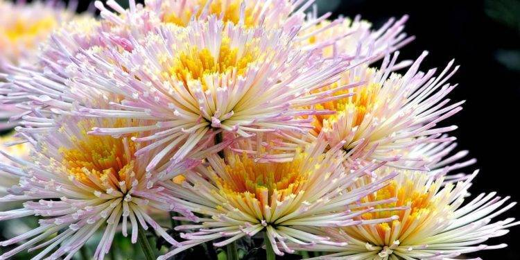 Как дольше сохранить срезанные хризантемы в воде. что добавить в воду, чтобы хризантемы дольше стояли в вазе? продлеваем жизнь цветам