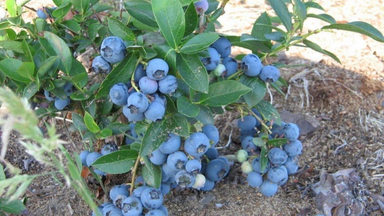 Голубика: выращивание из семян - подробная информация!