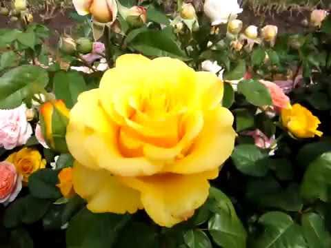 Описание и характеристики желтой розы керио: что это за чайно-гибридный сорт