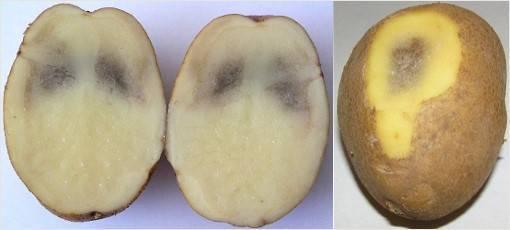 Неинфекционные болезни картофеля