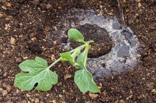 Как правильно посадить дыню в открытый грунт