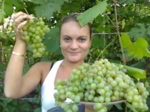 Описание сорта винограда краса дона