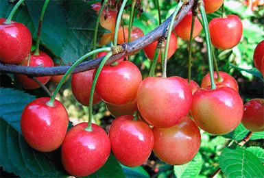 О черешне Брянской розовой: описание и характеристики сорта, посадка, уход