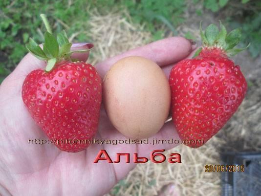 """""""альба"""" (клубника): описание сорта"""