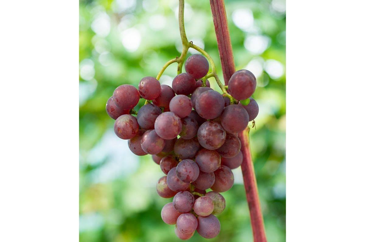 Русский ранний виноград описание — ягоды грибы
