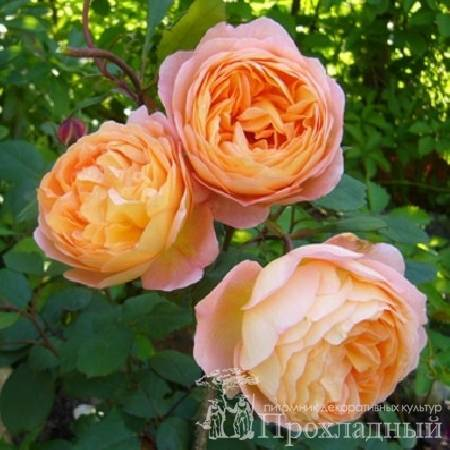 Роза леди эмма гамильтон описание. описание роз леди гамильтон