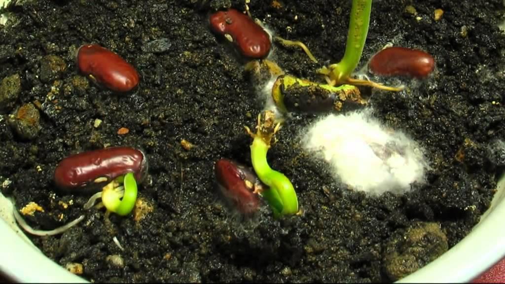 Посадка фасоли в открытый грунт: дальнейший уход и правила выращивания