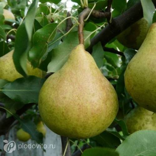 Характеристики и описание сорта груш «памяти яковлева»
