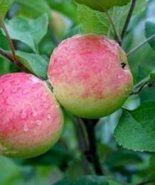 Ботаническое описание и агротехника выращивания яблони сорта моди