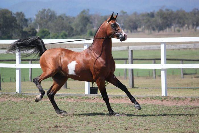 Арабская лошадь – история породы, характеристика, существующие типы и масти