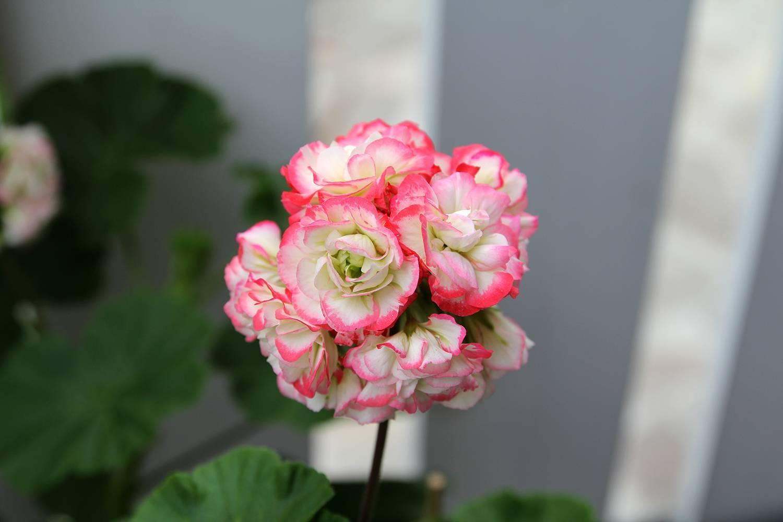 Пеларгония уход в домашних условиях размножение выращивание из семян обрезка пересадка