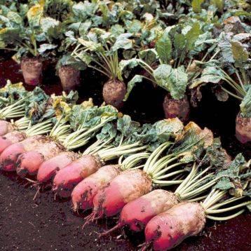 О кормовой свекле: описание сортов, как правильно ухаживать и выращивать