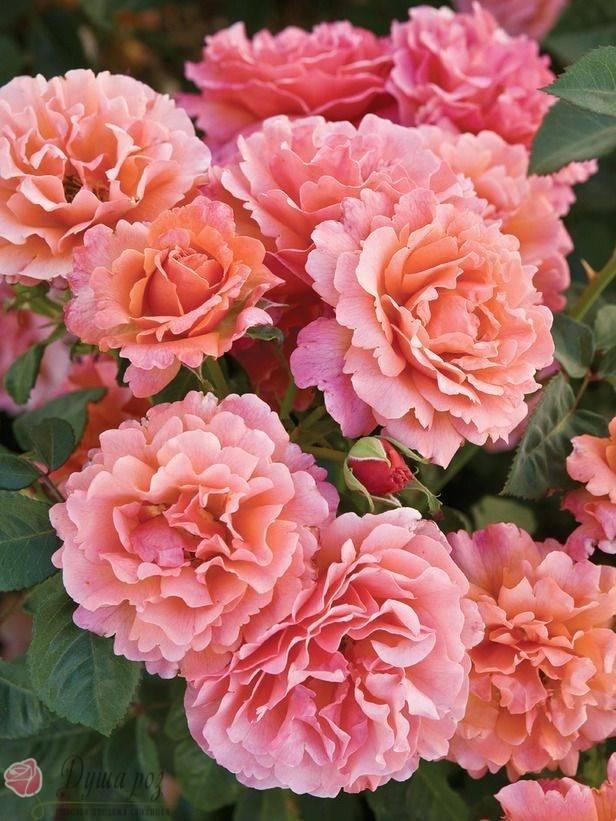 Описание розы августа луиза с фото и отзывами садоводов