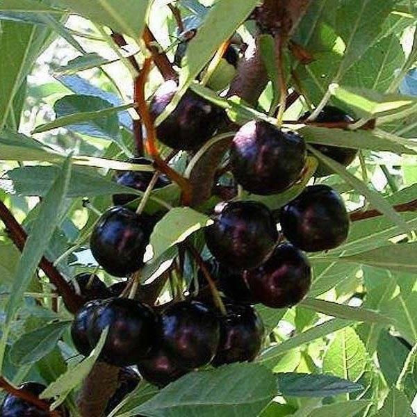 Черевишня ночка — вкуснейший гибридный сорт
