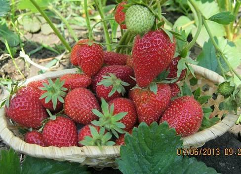 Клубника «эльсанта»: описание сорта и агротехника выращивания