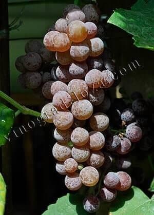 Виноград «рилайнс пинк сидлис» (reliance pink seedless)