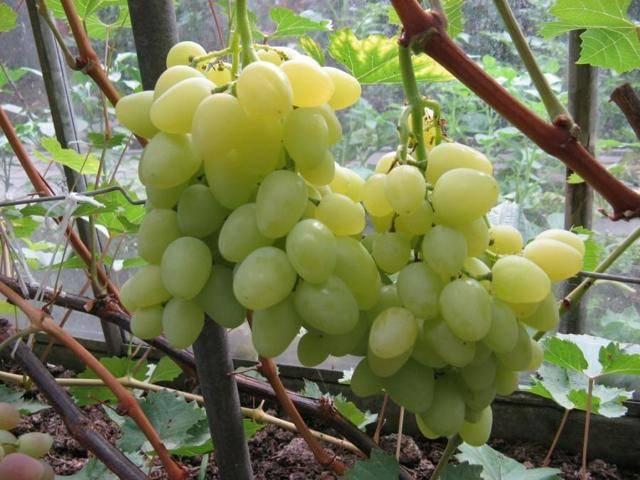 Виноград надежда аксайская: надёжный сорт для вашего сада