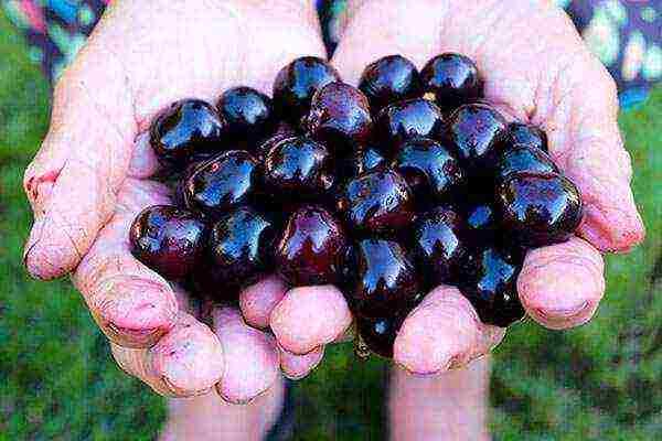Лучшие сорта вишни для подмосковья, выращивание и уход