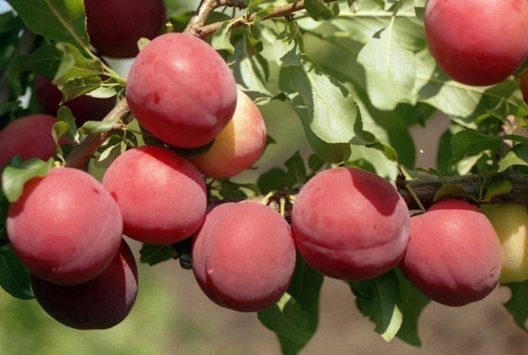 О сливе Уссурийская Желтая: описание сорта, агротехника выращивания