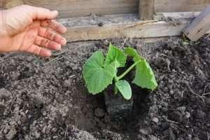 Выращивание рассады огурцов для теплицы в домашних условиях