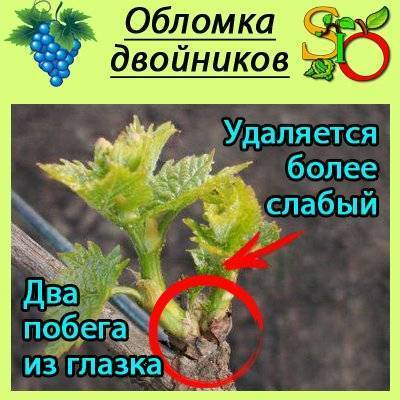 Сколько кистей винограда оставлять на лозе