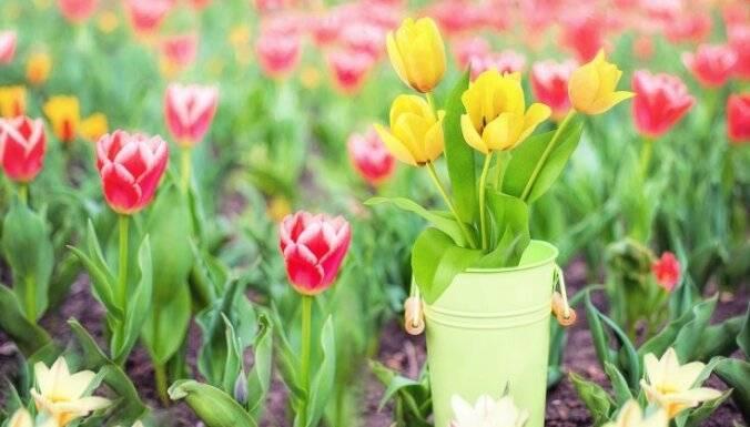 Уход за тюльпанами после цветения - выкапывание и хранение луковиц