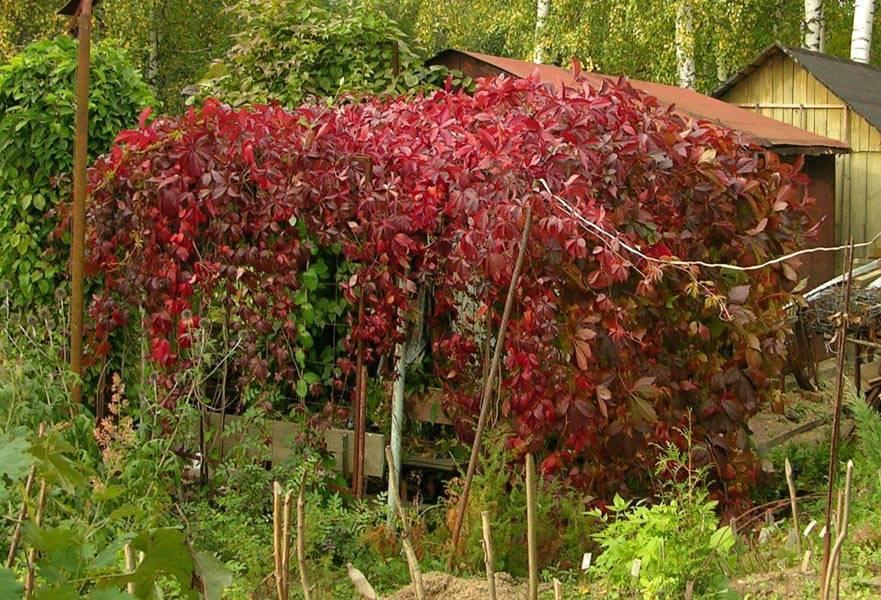 Посадка и уход за девичьим виноградом на дачном участке