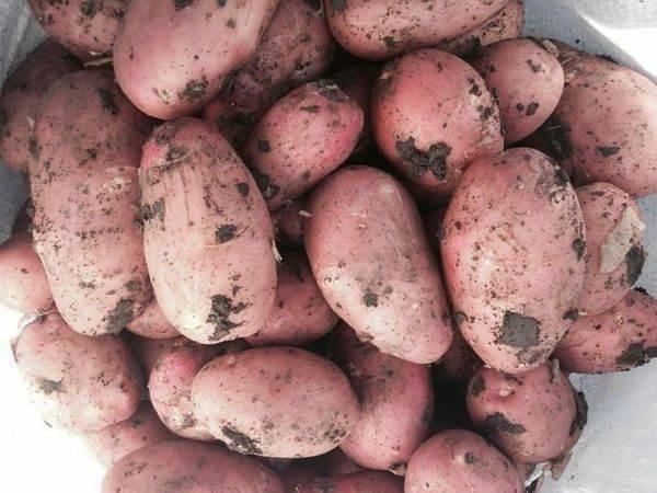 Картофель беллароза: 8 особенностей и 10 советов по посадке и уходу