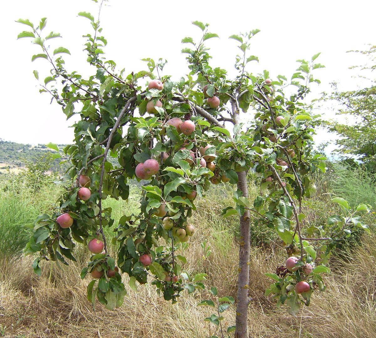 Лечение цветами яблони. цветы яблони против гастрита и иных заболеваний. положительные свойства цветов яблони