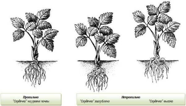 Как сажать землянику (посадка земляники в грунт рассадой весной, летом, осенью)